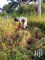 Rice Seed Provider | Feeds, Supplements & Seeds for sale in Volta Region, Ho West