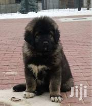 Baby Male Purebred Caucasian Shepherd Dog | Dogs & Puppies for sale in Greater Accra, Dansoman