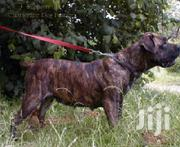 Young Female Mixed Breed Boerboel | Dogs & Puppies for sale in Ashanti, Kumasi Metropolitan