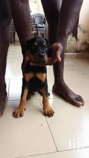 Baby Female Mixed Breed Rottweiler | Dogs & Puppies for sale in Greater Accra, Nii Boi Town