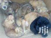 Baby Male Purebred Poodle | Dogs & Puppies for sale in Greater Accra, Tema Metropolitan
