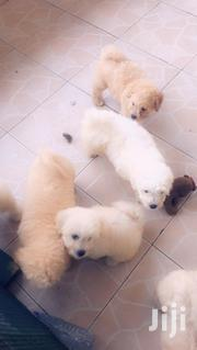 Young Female Purebred Poodle | Dogs & Puppies for sale in Western Region, Shama Ahanta East Metropolitan