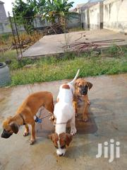 Young Female Purebred Boerboel | Dogs & Puppies for sale in Greater Accra, Achimota