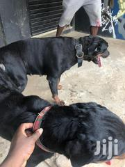 Adult Female Purebred Rottweiler | Dogs & Puppies for sale in Greater Accra, Accra Metropolitan