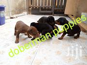 Young Female Purebred Doberman Pinscher | Dogs & Puppies for sale in Greater Accra, Osu