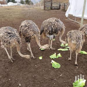 Good And Friendly Ostriches