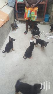 Baby Male Purebred German Shepherd Dog | Dogs & Puppies for sale in Ashanti, Ejisu-Juaben Municipal