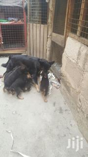 Baby Female Purebred German Shepherd Dog | Dogs & Puppies for sale in Ashanti, Kumasi Metropolitan