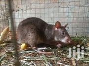 Male Bush Rat | Other Animals for sale in Ashanti, Mampong Municipal