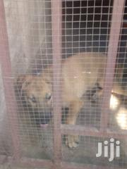 Young Female Mixed Breed | Dogs & Puppies for sale in Greater Accra, Ga East Municipal