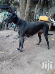 Adult Female Purebred Great Dane | Dogs & Puppies for sale in Greater Accra, Ga East Municipal