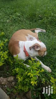 Young Female Purebred American Pit Bull Terrier | Dogs & Puppies for sale in Greater Accra, Adenta Municipal