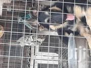 Young Male Purebred German Shepherd Dog   Dogs & Puppies for sale in Greater Accra, Mataheko