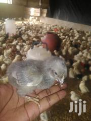 Blue Chicken | Livestock & Poultry for sale in Greater Accra, Ashaiman Municipal