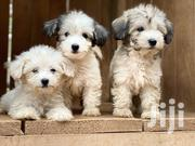 Young Male Purebred Poodle | Dogs & Puppies for sale in Eastern Region, Asuogyaman