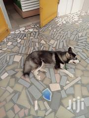 Young Female Purebred Siberian Husky | Dogs & Puppies for sale in Greater Accra, Achimota