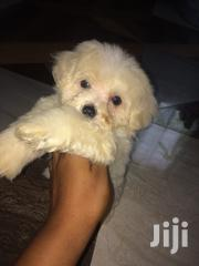 Baby Female Purebred Maltese | Dogs & Puppies for sale in Greater Accra, Accra Metropolitan
