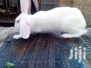 Strong Rabbit Buck For Sale | Livestock & Poultry for sale in Greater Accra, Bubuashie