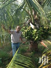 Malaysian Dwarf Coconut Seedlings | Feeds, Supplements & Seeds for sale in Greater Accra, East Legon
