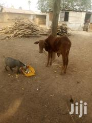 Goat And Cow For Sell | Other Animals for sale in Northern Region, Zabzugu/Tatale