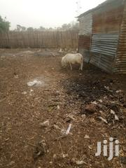 Sheep For Sell   Livestock & Poultry for sale in Northern Region, Zabzugu/Tatale