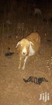 Sheep For Sale   Livestock & Poultry for sale in Northern Region, Yendi