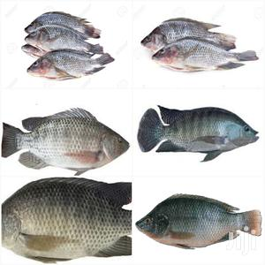 Fresh Tilapia For Sell