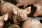 Male Pig Average Sized | Livestock & Poultry for sale in Ashanti, Kumasi Metropolitan