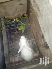 Rabbit For Sale | Livestock & Poultry for sale in Greater Accra, Tema Metropolitan