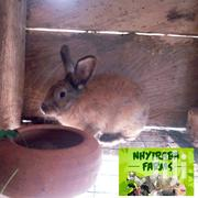 Healthy Rabbits For Sale | Other Animals for sale in Central Region, Agona East