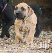 Baby Male Purebred Boerboel   Dogs & Puppies for sale in Greater Accra, Airport Residential Area