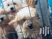 Baby Male Purebred Poodle | Dogs & Puppies for sale in Greater Accra, Teshie-Nungua Estates