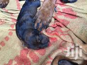 Baby Male Purebred Doberman Pinscher | Dogs & Puppies for sale in Greater Accra, Ga West Municipal