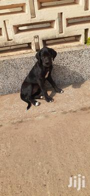 Baby Female Mixed Breed Great Dane | Dogs & Puppies for sale in Greater Accra, Adenta Municipal