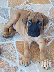 Baby Male Purebred Boerboel | Dogs & Puppies for sale in Greater Accra, Ga South Municipal