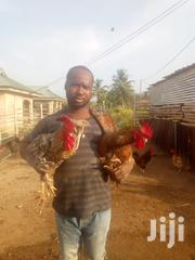 Kuroilergh | Livestock & Poultry for sale in Eastern Region, Akuapim South Municipal