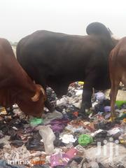Caw And Sheep Coll Price   Livestock & Poultry for sale in Northern Region, Gushegu