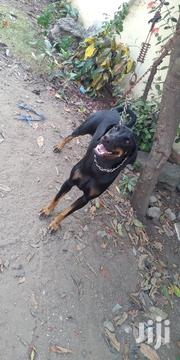 Adult Female Purebred Doberman Pinscher | Dogs & Puppies for sale in Greater Accra, Osu