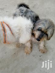 Adult Male Purebred Poodle | Dogs & Puppies for sale in Central Region, Awutu-Senya