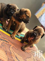 Baby Female Purebred Boerboel   Dogs & Puppies for sale in Greater Accra, Accra new Town