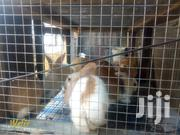 Rabbit Bunnies | Other Animals for sale in Greater Accra, Labadi-Aborm