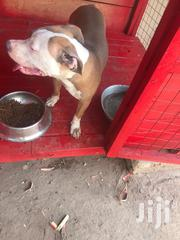 Young Male Purebred | Dogs & Puppies for sale in Greater Accra, Teshie-Nungua Estates