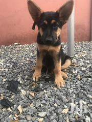 Young Male Purebred German Shepherd Dog | Dogs & Puppies for sale in Greater Accra, North Labone