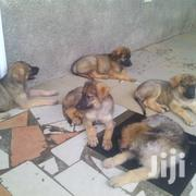 Baby Male Mixed Breed German Shepherd Dog | Dogs & Puppies for sale in Greater Accra, Kwashieman