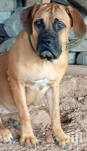Young Female Purebred Bullmastiff | Dogs & Puppies for sale in Greater Accra, East Legon