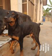 Young Female Purebred Doberman Pinscher | Dogs & Puppies for sale in Greater Accra, East Legon (Okponglo)