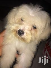 Young Female Purebred Maltese | Dogs & Puppies for sale in Greater Accra, Accra Metropolitan