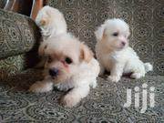 Baby Female Purebred Poodle | Dogs & Puppies for sale in Greater Accra, Alajo