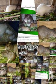 Life Grasstters | Other Animals for sale in Greater Accra, Teshie new Town