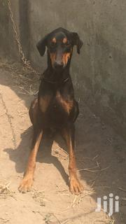 Young Male Purebred Doberman Pinscher   Dogs & Puppies for sale in Central Region, Awutu-Senya